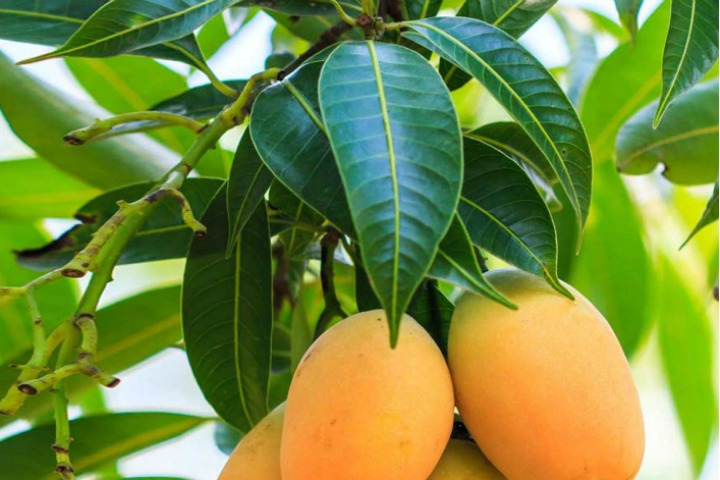 20 Surprising Medicinal Uses And Benefits Of Mango Leaves