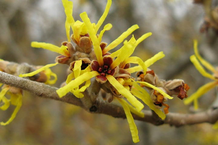 Witch Hazel for Bruises: Does it Really Work?