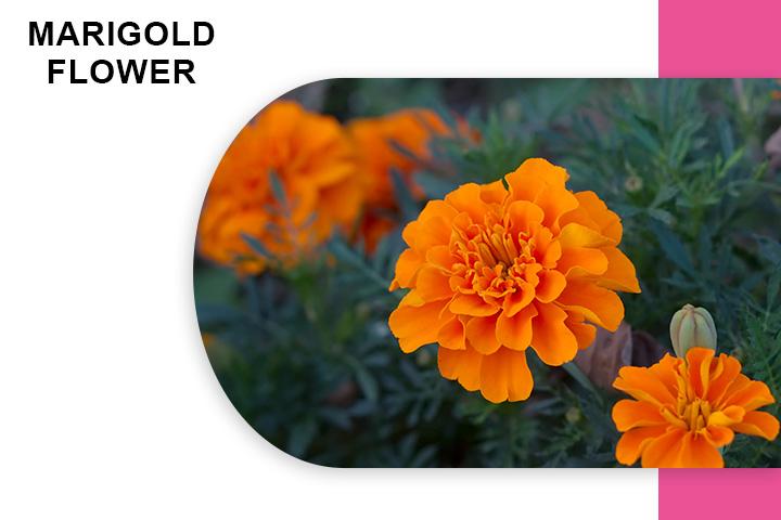 Marigold Flower for Varicose Veins