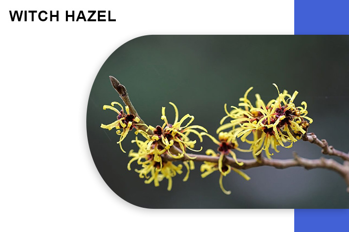 Witch Hazel for Varicose Veins