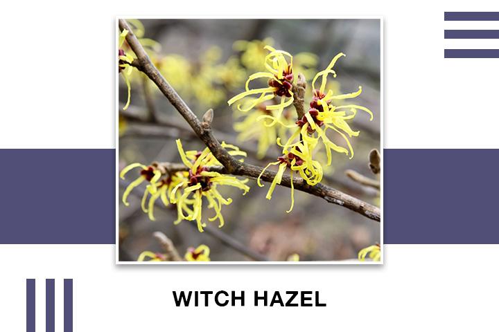 Witch Hazel for Skin Tightening